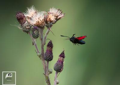 Binnenvliegende Sint-Jans vlinder